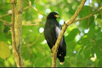 Common black hawk perching in a tree  - Costa Rica