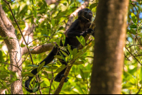 monkey moving on a tree in the tamarindo estuary