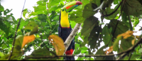 Keel billed toucan perching in a tree