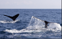 whale tails above sea 