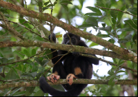 Howler Monkey Chewing on some Foliage