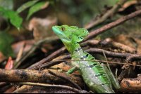 tortuguero national park attraction emerald basilisk  