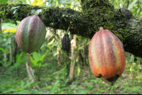 Ripe cacao fruit growing among an abandoned farm inside the Kekoldi Reservation