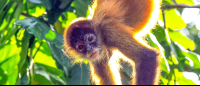 A young spider monkey hanging upside looking for fruit