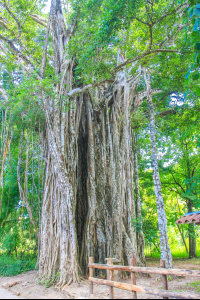 cabuya strangler fig tree 