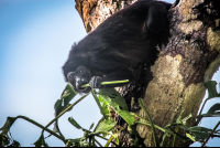 howler monkey eating leaves during monkey tour puerto jimenez