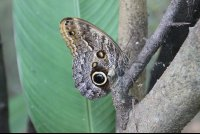 owl butterfly on a branch