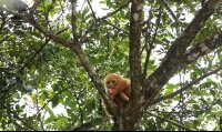 Albino Howler Monkey, Which Appears Orange