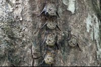 Long Nosed Bats Sleeping on the Underside of a Tree