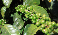 monteverde coffee farm green beans 