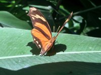 orange brown butterfly