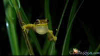 hourglass tree frog.png