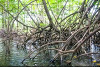 sierpe manglar forest exposed roots