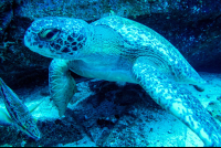 green sea turtle on the bottom of the ocean cocos island