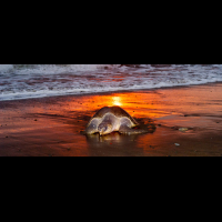 olive ridley going to nest ostional