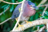 green heron on a branch sierpe mangler  - Costa Rica