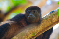 howler monkey face nosara reserve  Edit  - Costa Rica