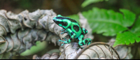 Black and green poison dart frog sitting on a dead leaf 