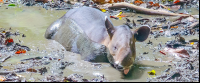 tapir soaking on the mud at the sirena ranger station