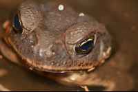 bufo toad face front
