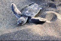 A baby green sea turtle scampering toward the ocean at Tortuguero Beach