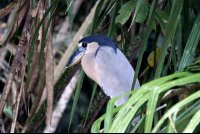 Boat Billed Heron (a nocturnal hunter) perching on Palm Fronds in the Shade.
