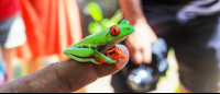 tortuguero destination red eyed tree frog    - Costa Rica