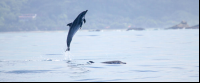 dolphin mid air 