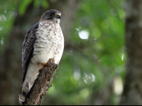 Grey Wing Hawk Perching Above the River
