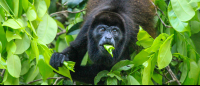 Howler monkey eating leaves over the Palma Canal in Tortuguero