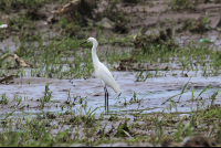 ibis on the tarcoles riverbank  - Costa Rica