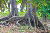 tree roots curu