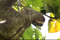 dominical destination hacienda baru three toed sloth 