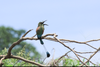 motmot singing on a branch  - Costa Rica