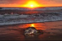 olive ridley going to nest ostional Edit