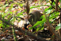 carara national park coati 