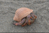 hermit crab on the sand at sirena ranger station corcovado national park 