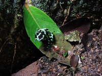 Black and Green Dart Frog at Hacienda Baru