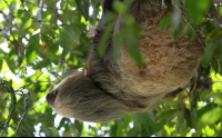 Two Toed Sloth Looking Longingly at a Seed Pod