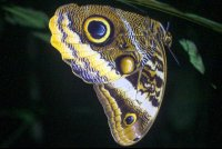 owl butterfly 