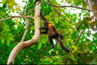 howler monkey moving through branches puerto viejo