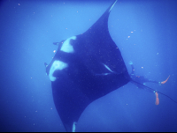 giant manta ray with diver below