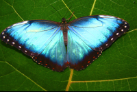 butterfly waterfallgardens morpho
