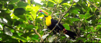 tortuguero national park attraction keel billed toucan 