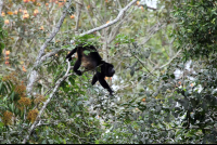 Howler Monkey Using Its Prehensile Tail to Steady Himself
