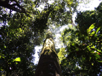 A hundred foot tall tree in Manuel Antonio National Park