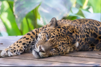 jaguar lying down face full image parque simon bolivar san jose