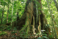 A two centuries old tree inside the primary rainforest of the Kekoldi Reservation