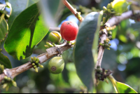 don juan coffee fruit 