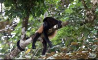 Howler monkey resting on a branch